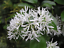 Chinese Fringe Tree   Chionanthus retusus   15 Seeds Free Shipping