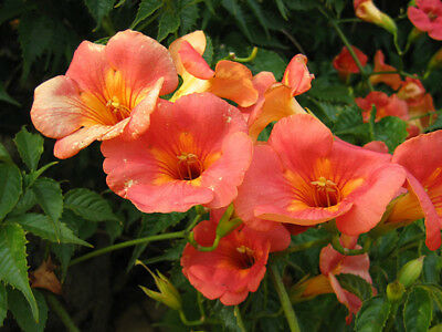 30 Graines de Jasmin de Virginie bignone fleurs plante grimpante méthode BIO