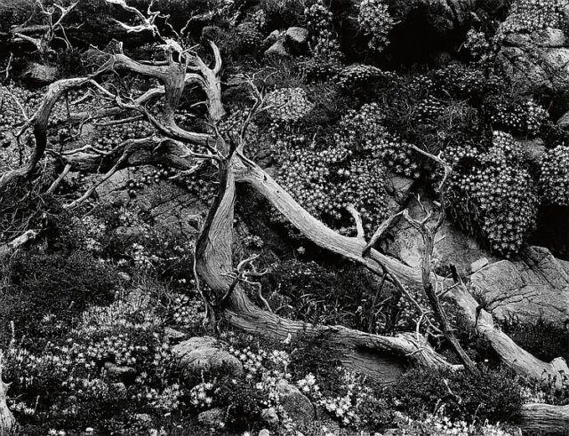 WESTON, BRETT (1911-1993) Study of branch and flowers. Lot 96