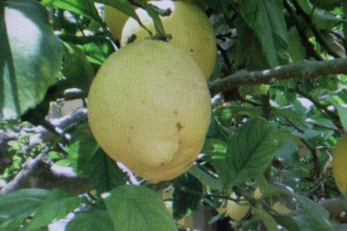 Citron #633 Citrus Limon 10 Graines Citronnier