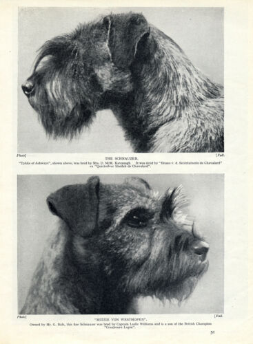 SCHNAUZER HEAD STUDIES OF TWO NAMED DOGS OLD ORIGINAL DOG PRINT FROM 1934