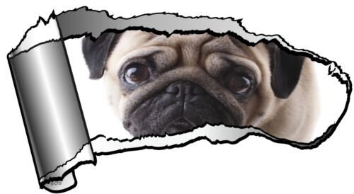 Ripped Open GASH Torn Metal with Cute Pet PUG Dog /& Sad Eyes Car Sticker Decal