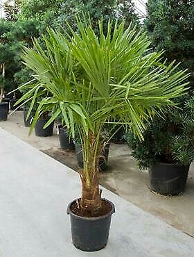 Independent 10 Graines Trachycarpus Fortunei Nainital Yard, Garden & Outdoor Living Hardy Palm Seeds Aesthetic Appearance