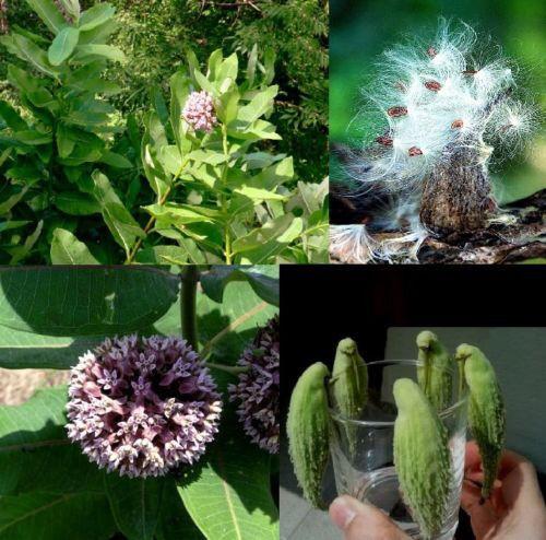 winterhart als Zimmerpflanze ✾ Samen Papageienbaum Asclepias syriaca  ☀ auch s