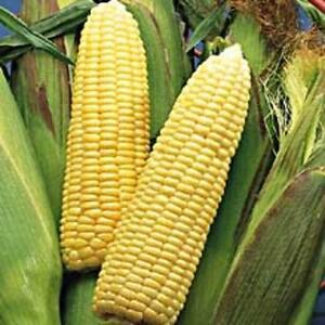 Early-Sunglow-CORN-30-seeds-VERY-EARLY-amp-SWEET-Yellow-Hybrid-Organic-NON-GM