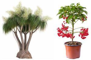 Zwei-Zimmerpflanzen-der-beliebte-Elefantenbaum-und-die-Zier-Spitzblume