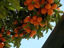 Kumquat (10 seeds) fresh this season's harvest from my garden