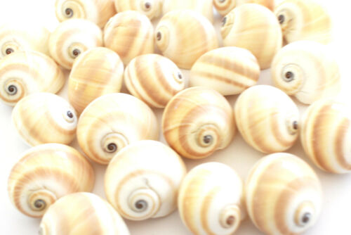 """D-shaped 24 Beautiful Natica Moon Shells Hermit Crab Small 1//2-3//4/"""" opening"""