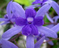 Petrea Volubilis purple  (Sandpaper vine, Queen Wreath vine, Florida Wisteria)