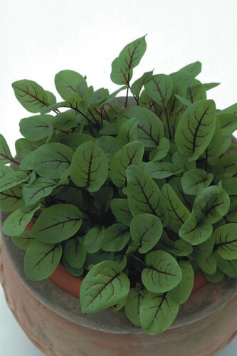 50g de graines-paquet en vrac Fines herbes-L/'oseille rouge veinés-Rumex acetosa