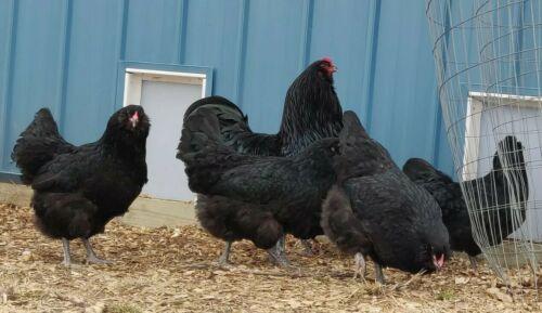 Black Ameraucana Show Quality Chicken Hatching Eggs Americana Blue Fertile Details about  /6