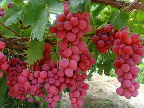 Resistant Grapes Collection PINK-BLUE-YELLOW