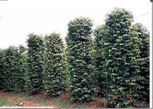 20-seed-Piper-nigrum-Seeds-Black-pepper-Heirloom-Seeds-Spice-herb-Plant