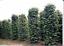20-seed-Piper-nigrum-Seeds-Black-pepper-Heirloom-Seeds-Spice-herb-Plant thumbnail 1