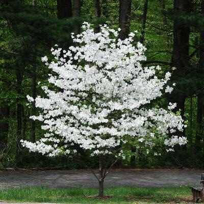 White Flowering Dogwood Tree Xl Jumbo Size 2 Feet Plus Bare Root