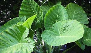 Details About Giant Elephant Ear Plant Seeds Colocasia Gigantea 80 Seeds Buy 4 Items Free Ship