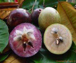 5-graines-de-CAIMITE-Chrysophyllum-cainito-PURPLE-STAR-APPLE-SEEDS