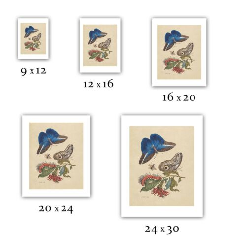 "Maria Sibylla Merian 1705 — Fine Art Print /""Cardinal/'s Guard Butterfly/"""