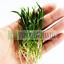 Micro-Sword-Copragrass-Live-Aquarium-Plant-Freshwater-Lilaeopsis-novaezelandiae thumbnail 1