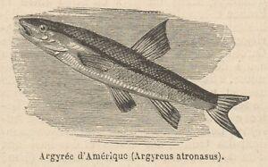 C8840 Argyreus Atronasus - Stampa Antica - 1892 Engraving CaractéRistiques Exceptionnelles