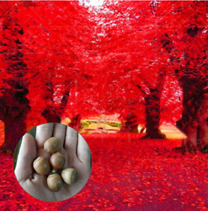 5Pcs-Red-And-Green-Oak-Tree-Seeds-Rare-2-Kind-Pereninal-Beautiful-Wood-Garden