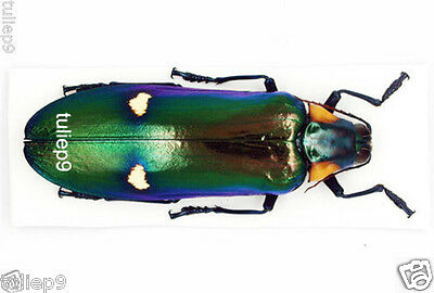 Megaloxantha bicolor  Taxidermy REAL Insect Unmounted