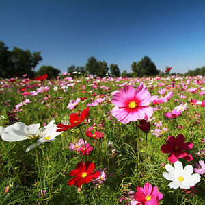 how to grow cosmos from seed outdoors
