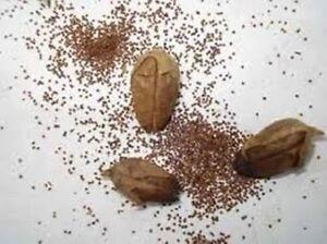 Semillas-tabaco-rubio-Virginia-1500-semillas-organicas