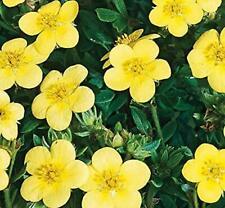 POTENTILLA RECTA VAR SULPHUREA X1 PLANT 10CM POT SIZE BEE FRIENDLY HARDY