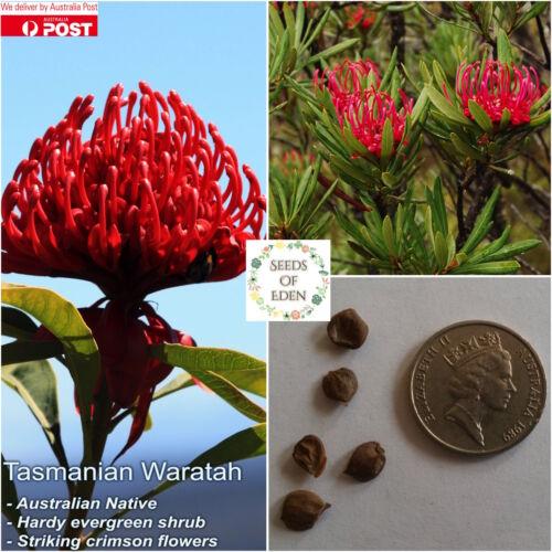 10 TASMANIAN WARATAH SEEDS Telopea truncata ; Native plant