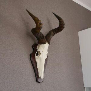 Hartebeest-Antilope-Africa-Craneo-Trofeo-Decoracion-HL59-cm-sobre-Rotulo