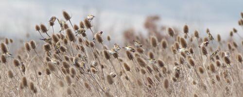 Native Wildflower Teasel 450 Seeds Dipsacus Fullonum