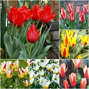 Tulip bulbs dwarf rockery spring flowering tulips garden perennial image is loading tulip bulbs 034 dwarf rockery 034 spring flowering mightylinksfo