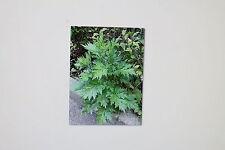 10 Semi Yomogi, Artemisia princeps, # 167