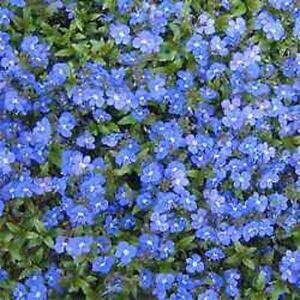 50 veronica creeping blue speedwell perennial flower seeds great image is loading 50 veronica creeping blue speedwell perennial flower seeds mightylinksfo