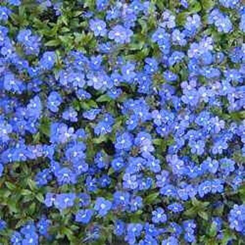 50+ VERONICA CREEPING BLUE SPEEDWELL PERENNIAL FLOWER SEEDS  GREAT CUT FLOWER