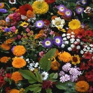 500-Wildflowers-Seeds-Japanese-Mix-Wild-Flowers