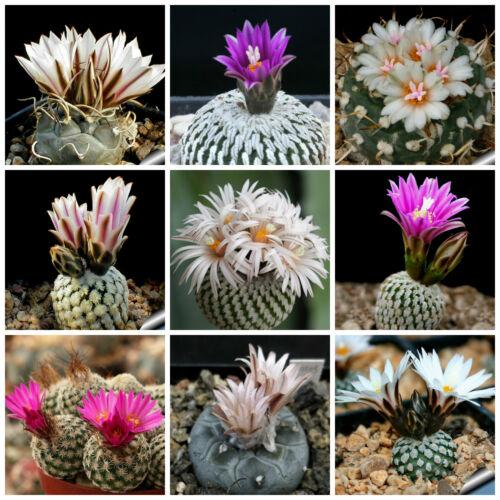piante grasse,seed cactus mix 100 semi in miscuglio di Turbinicarpus mix