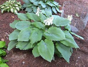 Large Hosta Queen Of The Seas Seeds 20 Seeds Ebay