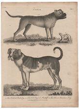 1800 Dog Print Old English Mastiff & British Bulldog
