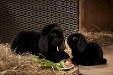 Kösener 6151 - Zwergwidder schwarz Hase Kaninchen 34 cm Kuscheltier Plüschtier