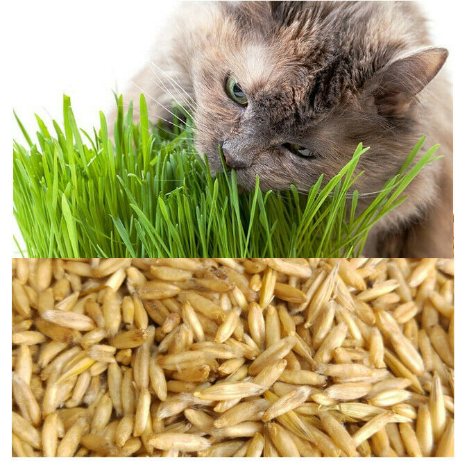 Organic Cat Oat Grass ~Fully grown in 14 days ~ Pets Love it! ~ BUY 2 GET 2 FREE