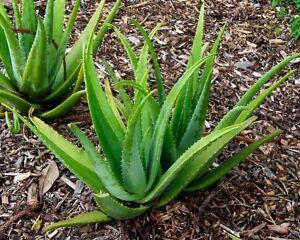aloe vera barbadensis miller stockton live plant organic wild harvested ebay. Black Bedroom Furniture Sets. Home Design Ideas