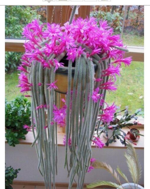 Aporocactus flagelliformis stunning rat tail cactus pink flowers 5 aporocactus flagelliformis stunning rat tail cactus pink flowers 5 seeds mightylinksfo