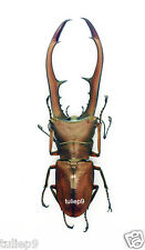 Cyclommatus metallifer finae (75mm to 79mm)  - Peleng Island, Indonesia