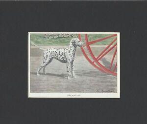 Dalmatian-1927-Vintage-Dog-Print-Matted