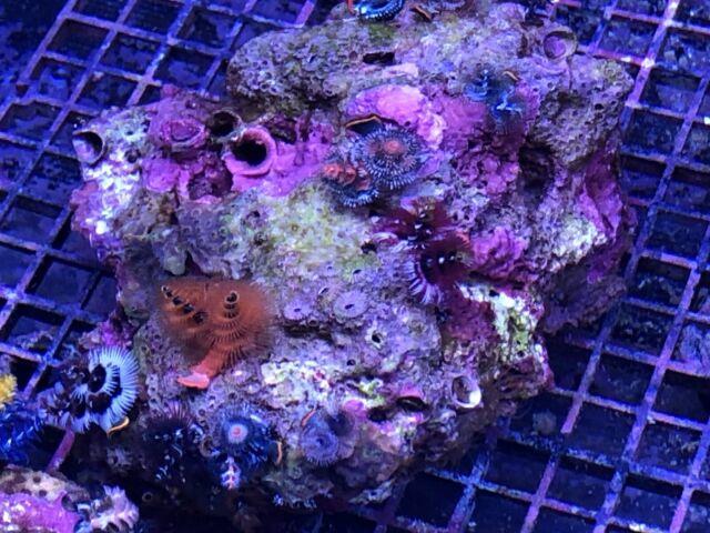 Australian Xmas Tree Worm Rock Coral 5 6 Wysiwyg Live Coral Ultra Secret Tank Ebay