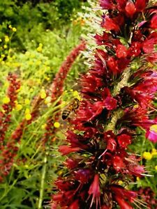 Cold hardy echium russicum red tower of jewels dry drought image is loading cold hardy echium russicum red tower of jewels mightylinksfo