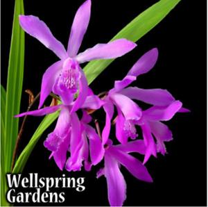 Ground Orchid - Bletilla Striata Big Bob Zone 5 VERY HARDY LIVE ...