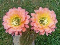 "Trichocereus  Echinopsis Hybride "" Apricot Glow "" original  rare"